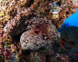 Octopus camouflage